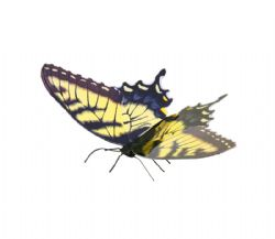 PAPILLONS -  TIGER SWALLOWTAIL - 1 FEUILLE